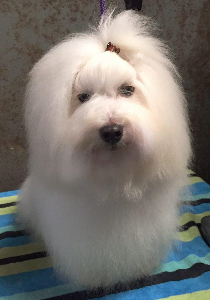 Shiloh Coton dog