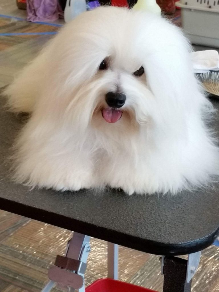 Male Shiloh Coton Dog with white fluffy hair