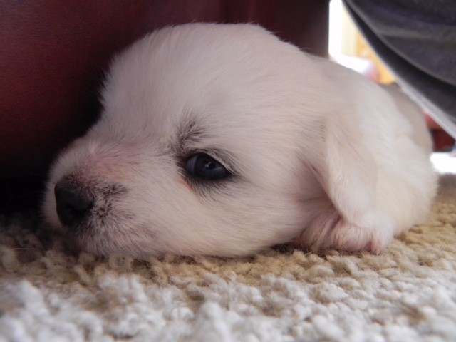 Shiloh Coton Puppy hiding under the table
