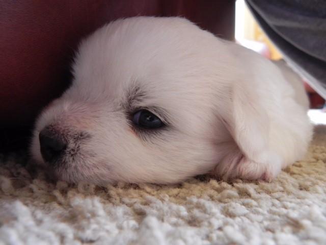 Shiloh Coton Puppy hiding under the table