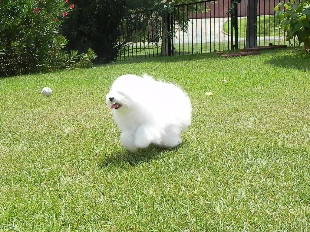 Georgia, fluffy Shiloh Coton outdoors