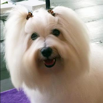 Shiloh Cottong Female Dog