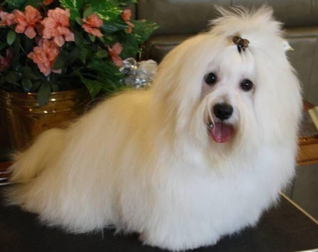 Shiloh coton dog next to coral flowers
