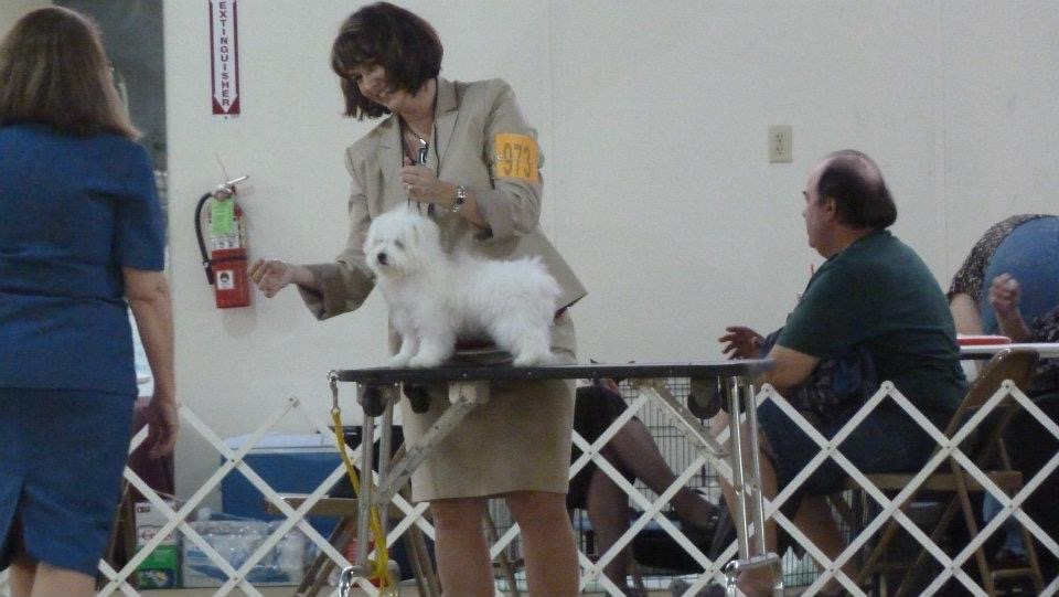 Shiloh Coton getting prep for a dog's contest accompanied by his breeder
