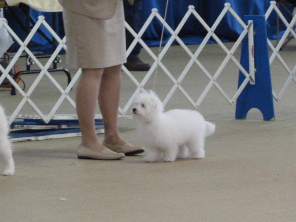Shiloh Coton dog waiting to be examined at a contest