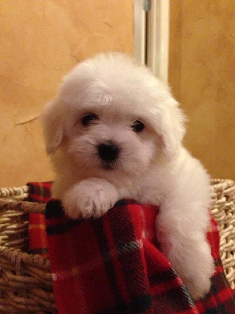 Shiloh Coton puppy in a basket