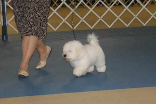 Shiloh coton walking next to his breeder