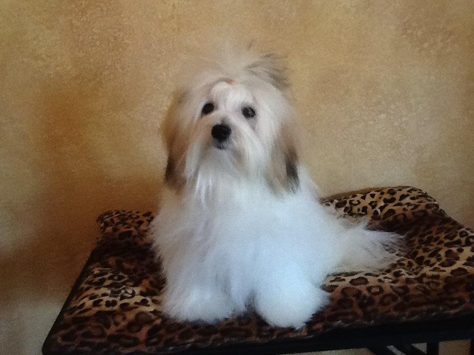 Luna, Shiloh Coton Dog