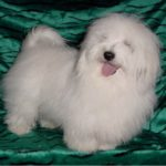 Shiloh Coton dog on a green cloth