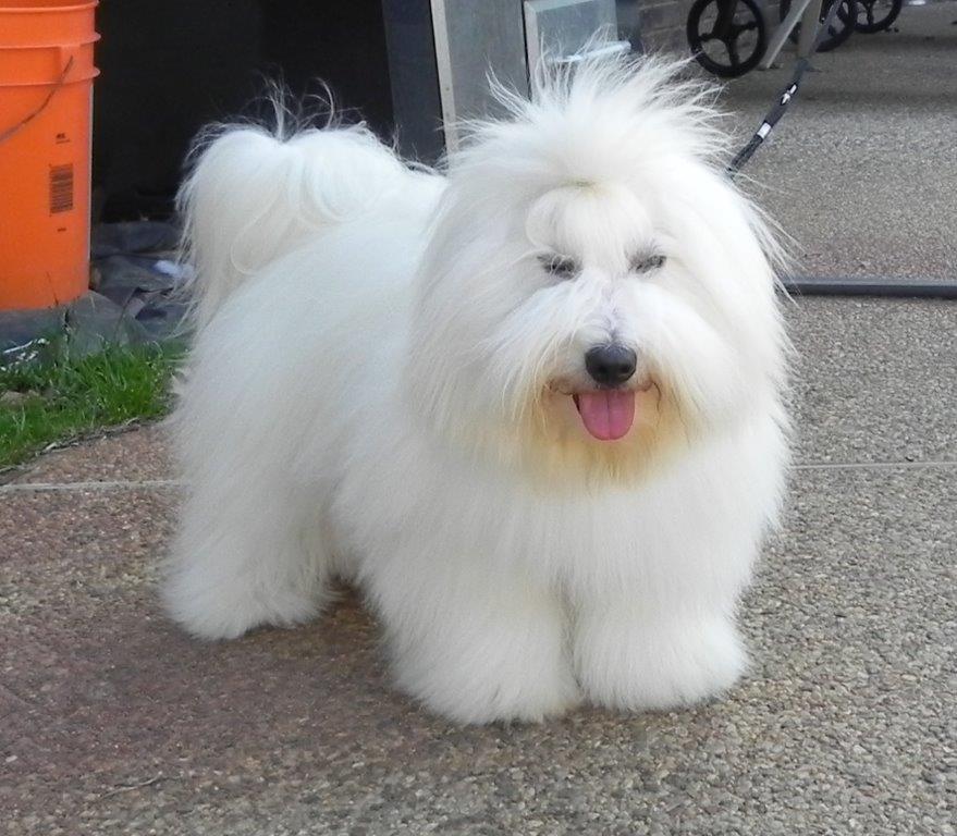 Bentley, Shiloh Coton Dog