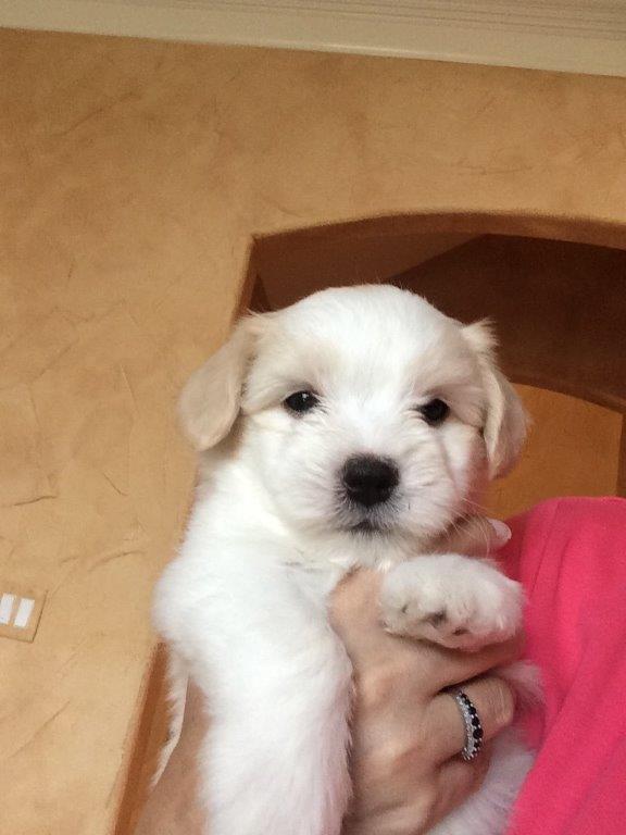 Shiloh Coton Puppy