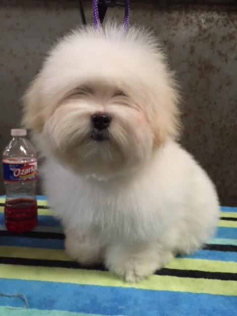 Shiloh Coton dog with short hair