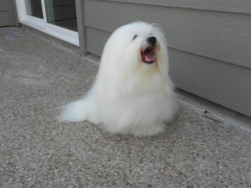 Bentley, long hair shiloh coton dog yawning