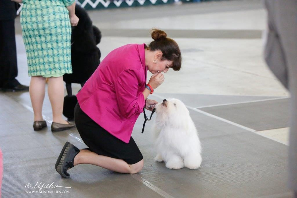 Bentley, Shiloh coton Dog at a breed dog contest wth her breeder