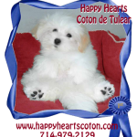 Happy hearts coton de tulear breed. Call 7149792129