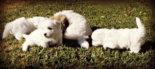 Four shiloh cotton puppies playing in the grass outdoors