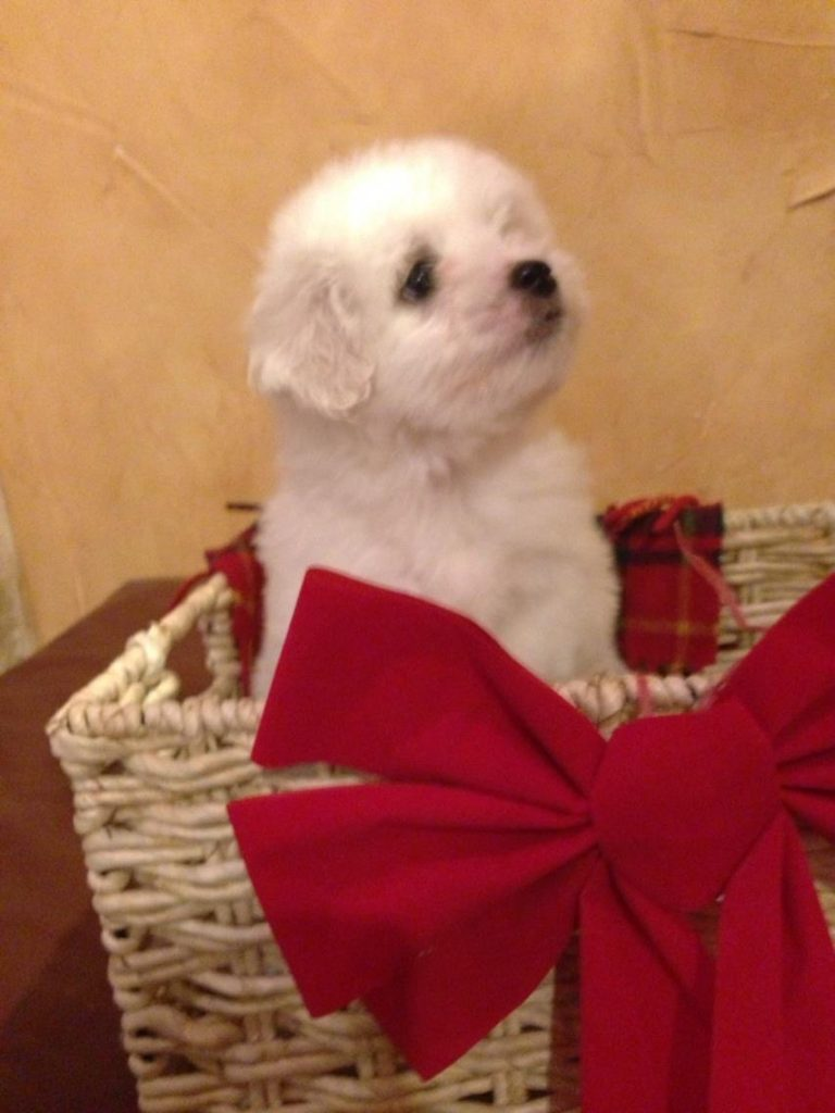 Shiloh Coton Puppy in a basket with a red bow