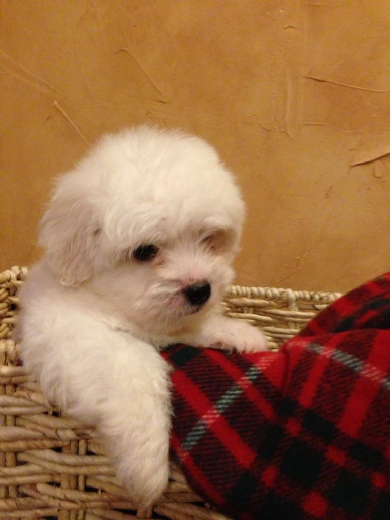 Shiloh Coton puppy in a basket next to a blanket