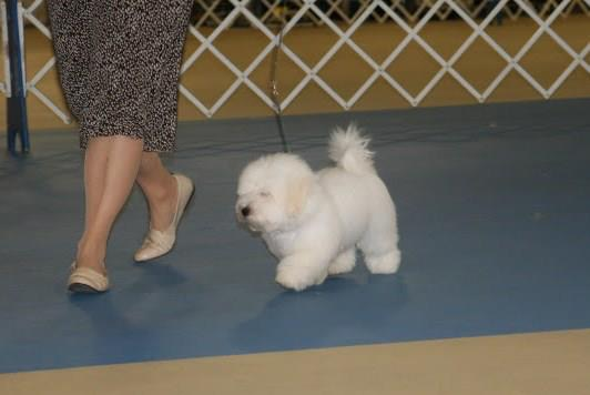 Shiloh coton walking next to his breeder
