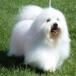 Shiloh Coton dog walking on the grass