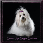 Sweet as a sugar cotons breed