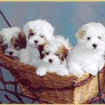 Four Shiloh Coton dogs in a basket