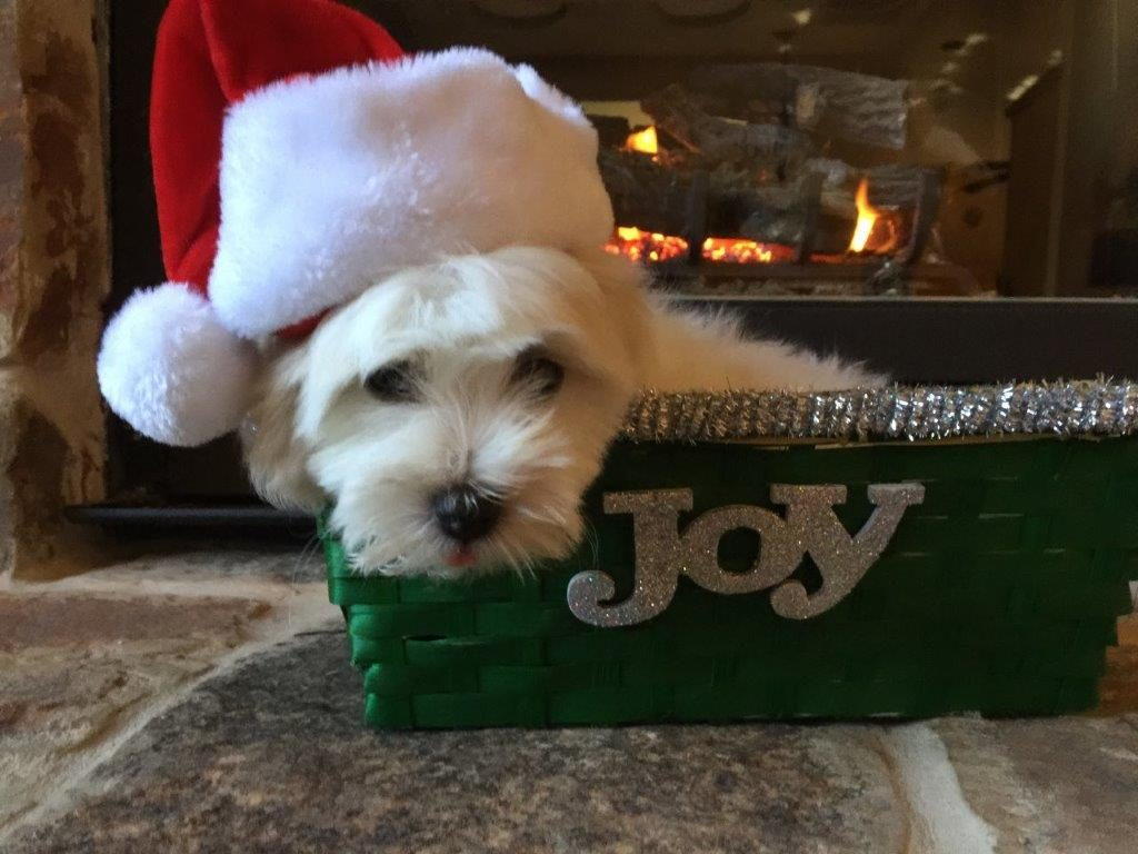 Shiloh Coton puppy with Santa hat